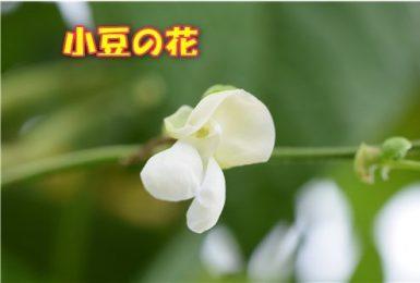 小豆の花  小豆  白