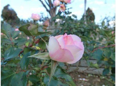 バラ  冬  ピンク  公園